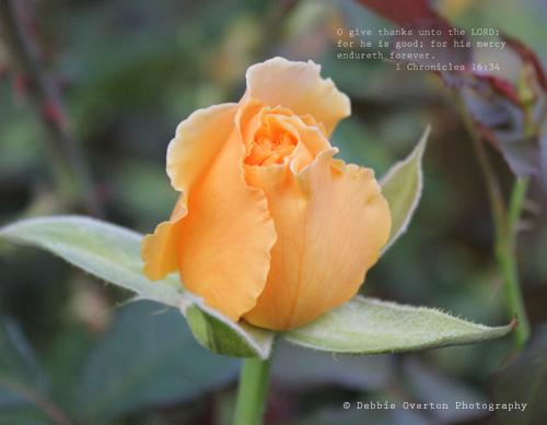 November Photo Peach Rosebud